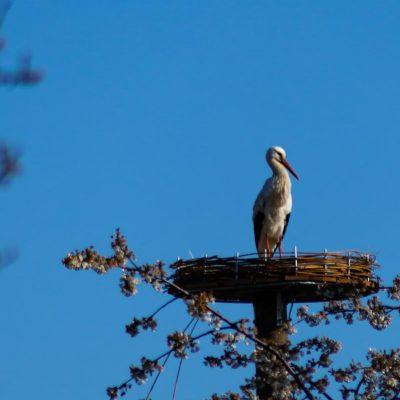 Der erste Storch besichtigt
